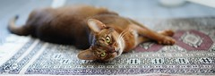 Lizzie relaxing on the Carpet (DizzieMizzieLizzie (Down for a while)) Tags: sonyilce7m3 sigma50mmf14dghsm|art018 abyssinian aby lizzie dizziemizzielizzie portrait cat feline gato gatto katt katze kot meow pisica sony neko gatos chat ilce 2018 bokeh hot summer night ilce7m3 sonya7miii oriental carpet relaxing