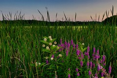 Wildflowers at Great Meadows (ole_G) Tags: