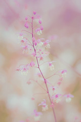 Sweet Summer (paulapics2) Tags: thalictrum flora garden nature summer canoneos5dmarkiii sigma105mmf28exdgoshsmmacro macro soft pastel 7dwfmacro
