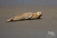 Harbour Seal (fascinationwildlife) Tags: animal mammal wild wildlife nature natur national park wattenmeer wadden sea ocean beach coast low tide ebbe robbe seehund harbour seal north nordfriesland deutschland germany summer
