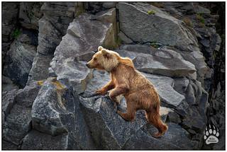 Alaska Brown Bear 062218-8838-W.jpg