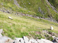Ben Nevis and its mountain goats (Pwern2) Tags: mountain goats white landscape photography nature peace serenity grass scotland highlands