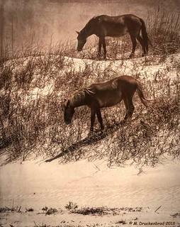 A couple Corolla Wild Horses on the Dunes