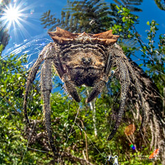 Broad-headed bark spider (Caerostris extrusa) - DSC_7438 (nickybay) Tags: macro madagascar andasibe voimma broadheaded bark spider caerostris araneidae orb weaver cctv fisheye wideangle extrusa africa