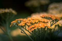 Achillea Terracotta (hjuengst) Tags: flower blume achillea schafgarbe terracotta yellow red orange gelb rot