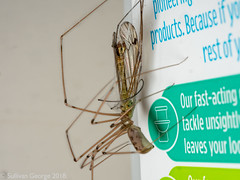 Cellar Spider (Pholcidae) Recycling Crane Fly on an Ecover bottle (iii) (the.sullivan) Tags: pholcidae cranefly daddylonglegs nature wildlife spider death ecover recycling cellarspider microfurthirds photography macro