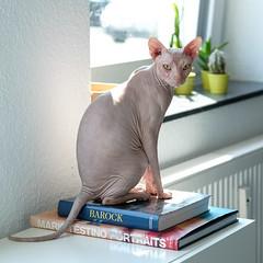 International Cat Day ;) (gambajo) Tags: cat kitten kitty pet animal naked pussy sun books look katze nakt