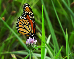 Country Monarch (JenSue256) Tags: insects fultoncoil centralil nature backroad monarch butterfly lumix dmc zs60