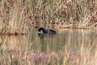 Fulica cristata (Red-knobbed Coot)