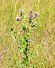 20180722-_Y8A3205 (edgeland1rm) Tags: alberta calgary canada canadathistle flowers flowersplants inglewoodbirdsanctuary northamerica