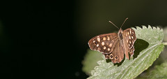 Speckled Wood-2856 (WendyCoops224) Tags: 100400mml 80d butterflies canon eos localbirdswildlife ©wendycooper speckled wood