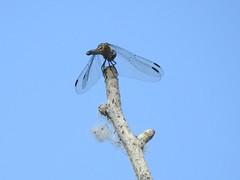 Dragonfly (Boulder Flying Circus Birders) Tags: dragonfly dragonflycolorado dragonflyboulder wildbirdboulder wildbirdcolorado boulderflyingcircusbirders freebirdwalk saturdaymorningbirders goldenpondsparkandnaturearea cityoflongmontopenspace colorado longmont janebaryames