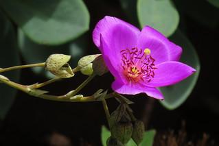 Calandrinia in San Francisco backyard 180805-140542 cw50 C4e