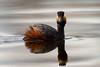 Eared Grebe-48148.jpg (Mully410 * Images) Tags: earedgrebe avian birding coonrapidsdam bird birds birdwatching grebe birder nationalpark mississippinationalriverrecreationarea reflection