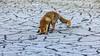 Looking for something? (deskdesign) Tags: fox waterleidingduinen waternet nederland wildlife