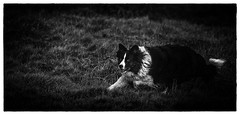 Momentary Pause (JJFET) Tags: border collie dog sheepdog