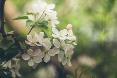 Apple blossoms (Inka56) Tags: appleblossoms 7dwe flora flowers diamondclassphotographer flickrdiamond
