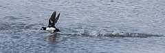 Garrot d'Islande_070A7380 (d.jauvin) Tags: garrot canard plongeur québec