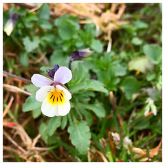 Field Pansy (JulieK (thanks for 6 million views)) Tags: ireland irish wildflower fieldpansy violaarvensis squareformat iphonese 100flowers2018 wexford flora field