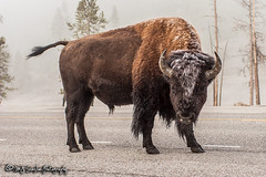 Buffalo | Yellowstone National Park | Wyoming (M.J. Scanlon) Tags: buffalo 20d animal beauty bison camera canon capture digital horns huge image mjscanlon mjscanlonphotography majestic mojo nps nationalpark outdoor outdoors outside park photo photog photograph photographer photography picture powerful scanlon scene scenic tatanka thundering thunderingherd wild wilderness wow wyoming yellowstone yellowstonenationalpark ©mjscanlon ©mjscanlonphotography