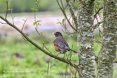 041518 Spring Robin (wildcatlou) Tags: spring nature nisquallynationalwildliferefuge wildlife songbirds robin americanrobin outdoors pond duck hoodedmerganser merganser frog bullfrog