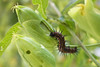 Gusano de Mariposa Espejito (Letua) Tags: 7dwf mariposaespejito animal caterpillar fauna green gusano naturaleza nature pasionaria passionflower puas rayas stripes verde