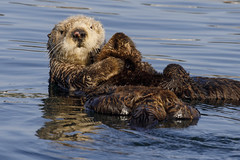 Southern Sea Otter with Pup (toryjk) Tags: enhydralutrisnereis otter seaotter southernseaotter otterpup californiaseaotter nature montereybay monterey mbww fur
