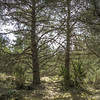 Backlit pines and juniper (prajpix) Tags: pine scots caledonian woods trees forest woodland pinewoods nature