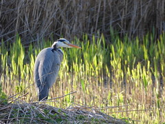 Heron (LouisaHocking) Tags: heron forestfarm cardiff nature bird birds british wildlife wild
