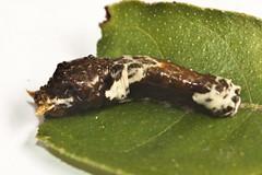 Papilio polytes romolus (Common Mormon) (GeeC) Tags: animalia arthropoda butterfliesmoths cambodia commonmormon insecta kohkongprovince lepidoptera nature papilio papiliopolytesromolus papilionidae papilionoidea tatai truebutterflies