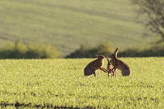 Not So Chilled Hares (andybam1955) Tags: coastal hare northnorfolk rural wildlife norfolk animal