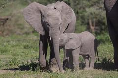 Sibling love (Ring a Ding Ding) Tags: africa elephant loxodontaafricana ndutu nomad serengeti tanzania brotherand nature safari siblings wildlife arusharegion ngc