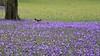 Krokusblüte in Husum - unerlaubtes betreten von einem Eichhörnchen (Sciurus vulgaris); Nordfriesland (124) (Chironius) Tags: husum schleswigholstein nordfriesland deutschland germany allemagne alemania germania германия niemcy grauestadt blüte blossom flower fleur flor fiore blüten цветок цветение asparagales schwertliliengewächse iridaceae krokusse crocus crocusnapolitanus blau tier