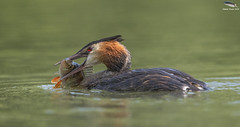 Great Crested Grebe (Mick Erwin) Tags: great crested grebe