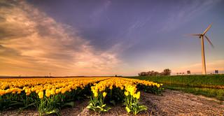 Wind turbines guarding the golden tulips.