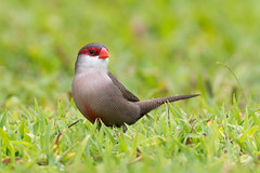 Common Waxbill  (7D744947-1) (Eric SF) Tags: commonwaxbill bird grass waikiki oahu hawaii
