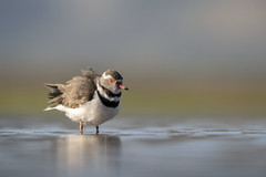Three-banded Plover - Zimanga -South-Africa (wietsej) Tags: threebanded plover zamangi southafrica bird nature bokeh sony ilca77m2 135mm f18 za zeiss sal sal135f18z