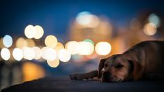 Dog days (Bastian.K) Tags: kreta dog animal hund bokeh sony 85mm 14 gm fe tier hafen harbour greece greek iraklie herakliog iraklio griechenland