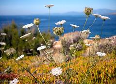 mon bouquet du matin ,bonne semaine (Hélène Baudart) Tags: bouquet fleurs corse mer couleurs nature