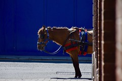 Attente, Market Street, Dublin (jpdu12) Tags: cheval jeanpierrebérubé jpdu12 nikon d5300 irlande ireland bleu eire dublin