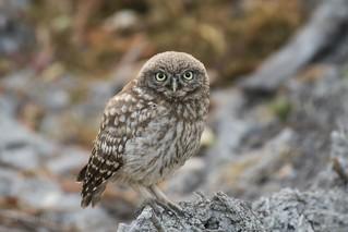 Little Owlet (Athene noctua)