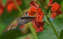 Little gem (Snixy_85) Tags: hummingbird rufoushummingbird selasphorusrufus colonyfarm