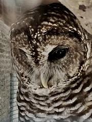 Barred owl (st_asaph) Tags: owl barredowl birdsanctuary seasideseabirdsanctuary indianshores pinellas