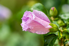Blüte im Regen (Tommes80) Tags: blüte blumen makro tele sony sonyalpha regen tropfen regentropfen schön natur