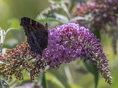 9Q6A1782 (2) (Alinbidford) Tags: alancurtis alinbidford brandonmarsh nature wildlife butterfly