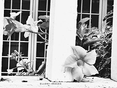 Making An Appearance (Ellery Images) Tags: mandevillea blooming elleryimages blackandwhite monochrome hff fence friday garden flower vine