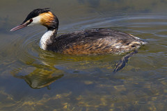 Great Crested Grebe (wayne.withers1970) Tags: small pretty bird wings fly flight flying color colorful nature natural colour colourful wild wildlife england flickr country countryside outside outdoors alive fauna swimming canon sigma light blur black white red brown orange lake river feathers water wader waterfowl fine dark animal grebe reservoir rutland reflection mirror