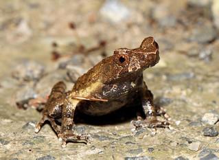 Asian Horned Frog (Megophrys minor)