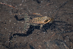 Cascades Frog (Rana cascadae) in-situ. (Chad M. Lane) Tags: wildlife wildlifephotography wild wideangle water wideanglephotography explore exploring explorer enjoy eye rock travel usa insitu outdoors animals amphibians animal awesome d810 fieldherping fullframe fx greatoutdoors green herps herping hiking herp herpetology herpers love california californiawildlife californiaherps beautiful nikon nature nikond810 naturephotography macro macrophotography mothernature mountains trinityalps siskiyoucounty cascadesfrog ranacascadae