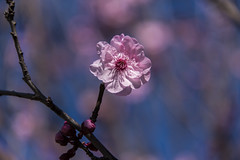blossom (Greg Rohan) Tags: blooming bloom nature blossom flowering flowers flower depthoffield dof pink blue macro d750 2018 nikon nikkor
